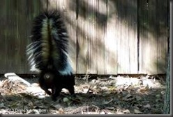 1-855-897-8484 SKUNKS - GET RID OF SKUNK STINK  A SKUNK CAN SPRAY 18 FEET DIRECTLY BUT THE SKUNK SCENT WILL GO AIR BOURNE FOR BLOCKS - NONE OF YOUR NEIGHBOURS WILL BE HAPPY