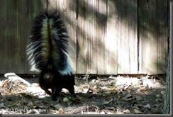 BRSSREMOVAL - SKUNKS - GET RID OF SKUNK STINK (905)812-1386    (416)234-5208   (519)569-7866 A SKUNK CAN SPRAY 18 FEET DIRECTLY BUT THE SKUNK SCENT WILL GO AIR BOURNE FOR BLOCKS - NONE OF YOUR NEIGHBOURS WILL BE HAPPY