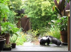 1-855-897-8484  SKUNKS 911 - SKUNK PROOF YOUR BEAUTIFUL YARD   SKUNKS LOVE PLENTFUL VEGETATION - IT MEANS AN UNLIMITED SUPPLY OF MICE MOLES AND VOLES WITH A SALAD