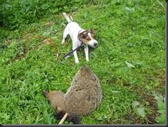 The_last_thing_you_need_is_your_dog_getting_bite_ground_a_rabid_groundhog[1]