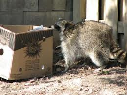 Preventative Maintenance is the ultimate best way to secure your home from wildlife such as raccoons. We will cap all of your vents and chimneys. Fasten any loose soffit. Completely Mesh and Cement around your home base anywhere that the raccoons or other animals could dig their way in. Once your home is secure animals may try. Eventually they will see the no vacancy sign and go away! That's how you stop raccoons from getting under your home. Simple Call Us 1-855-897-8484