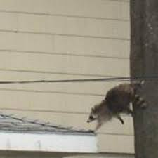 #Got_Raccoon_s Hey Wait For Me 1-855-897-8484 @AnimalsGetOut #GETTHEMOUT a-1WAR.com
