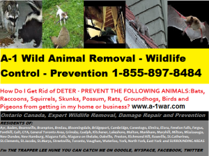 Call 1-855-897-8484 @AnimalsGetOut #WildAnimalRemoval a-1war.com Kitchener Waterloo Cambridge Guelph Toronto  and Surrounding Areas AnimalsGetOut@gmail.com