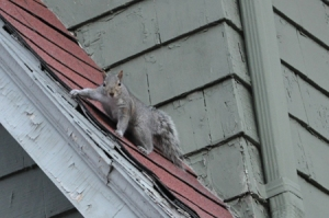 81030-a-1war-squirrels-agreysquirrelteststheshinglestoseewhereroofisweak-callleehuneakathetrapper-1-855-897-8484